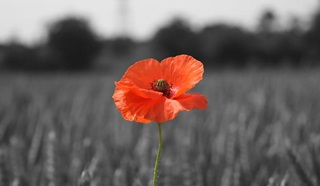 Single poppy in a wheat field