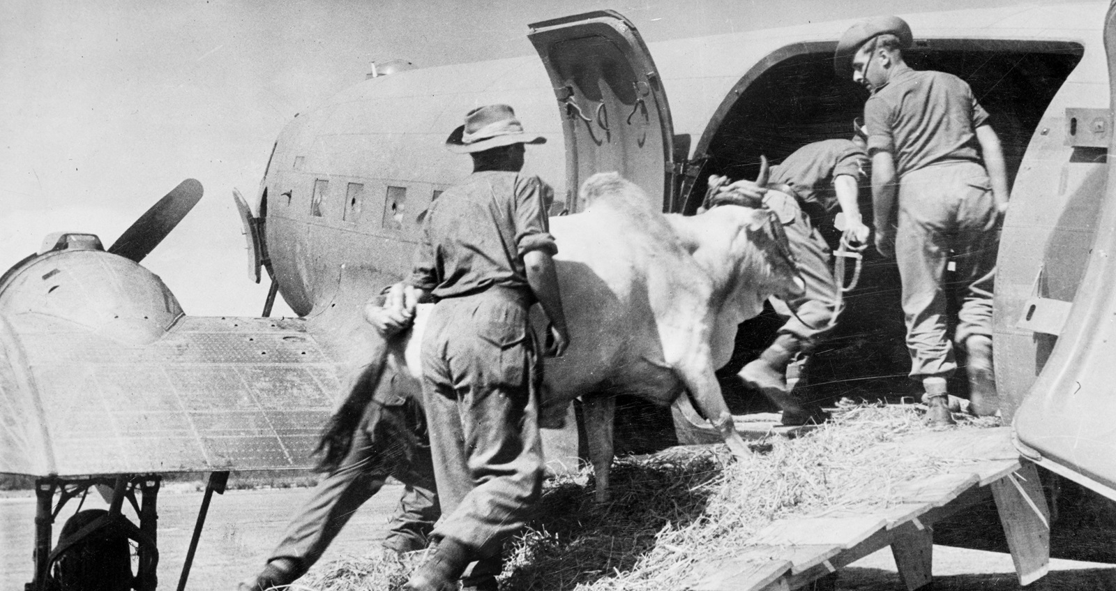 A bull of the 5th Indian Infantry Division entering an airplane in preparations to an airlift from Arakan to Imphal Plain, behind the Japanese lines, March-July 1944.