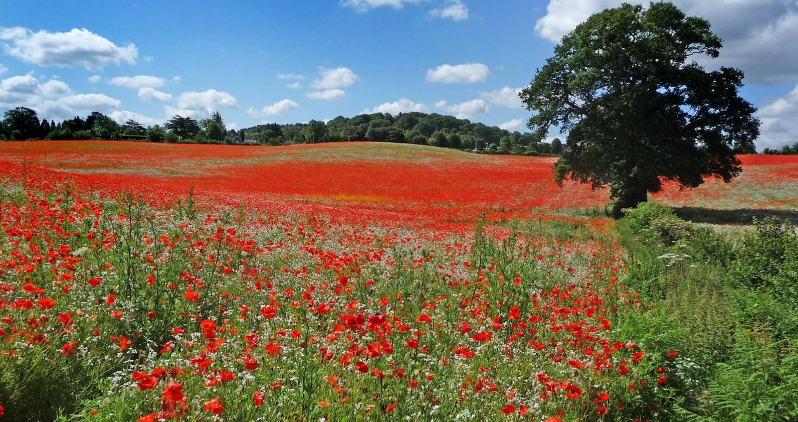 A field of natural poppies